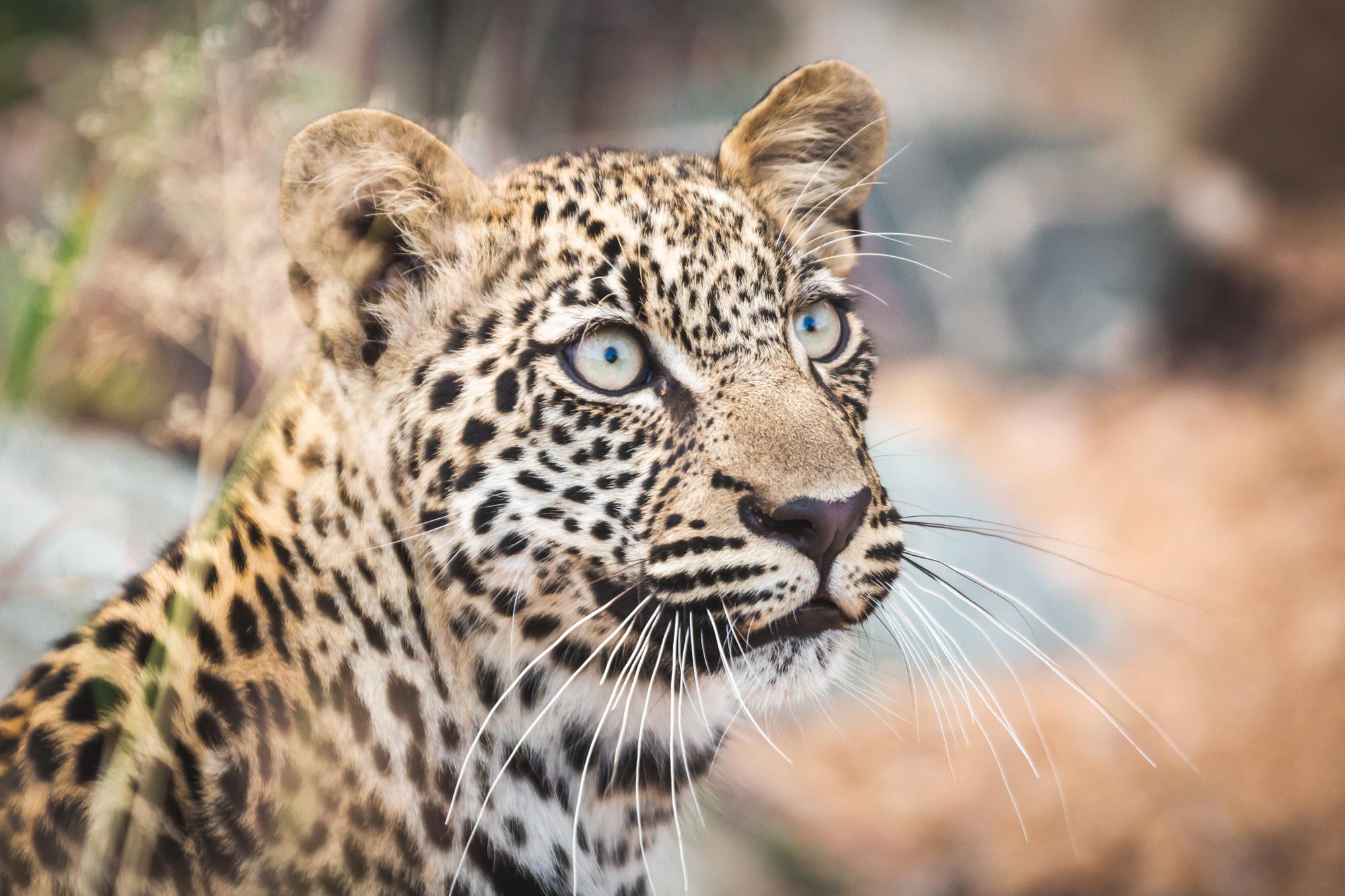 luipaard met jong